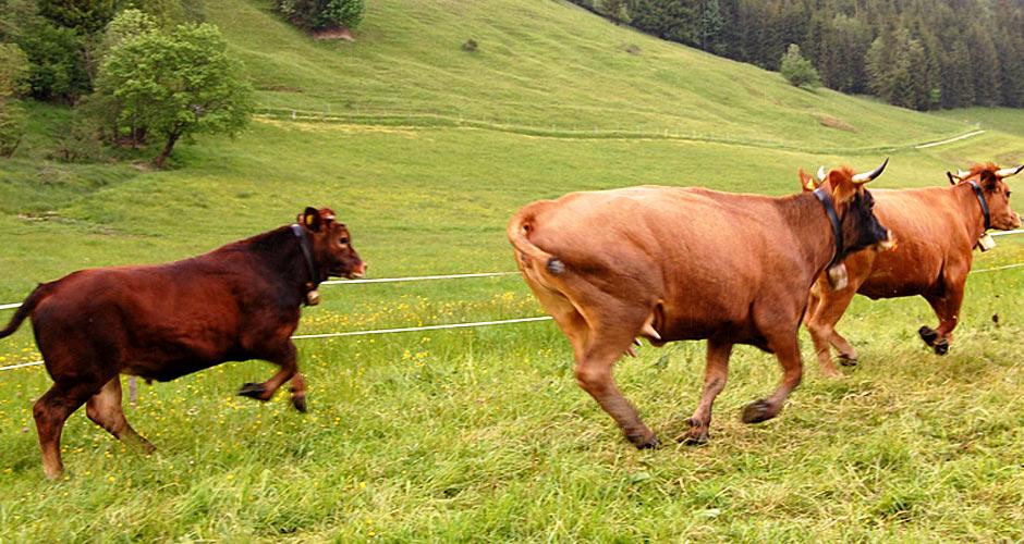 Murnau-Werdenfelser Kühe. Foto: © Marianne Fend